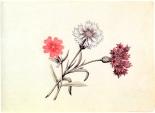Л. 5. Полевые цветы: гвоздика (?), василек и репей. Акварель.